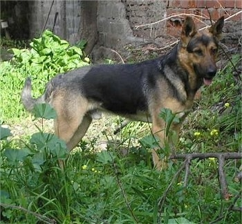 A black and tan German Shepherd is standing in tall weeds next to a brick building that looks like it needs repairs.