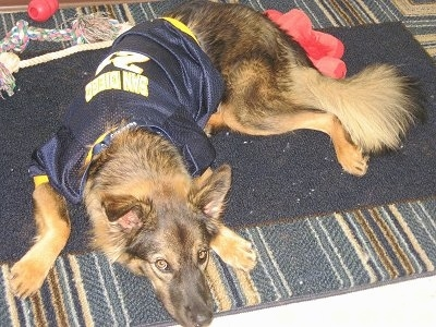A black and tan German Shepherd is laying down on a rug and it is wearing a blue and yellow jersey.