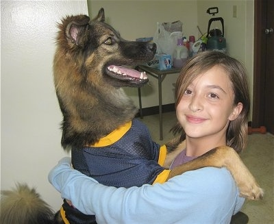 A black and tan German Shepherd wearing a blue and yellow football jersey is standing on its hind legs and has its front legs on the shoulders of a girl who is smiling over at the camera.