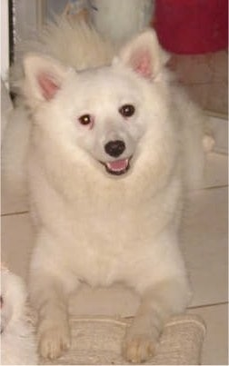 A white Giant German Spitz is laying on a floor with its mouth open and head tilted to the left
