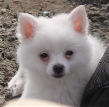 A white Small German Spitz puppy is laying outside in dirt