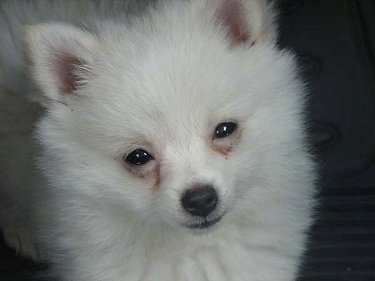 Close Up head shot - A small white German Spitz puppy is standing on a carpet