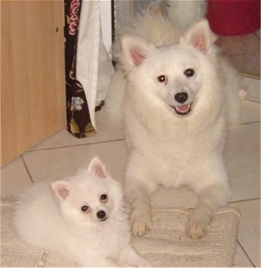 List Of German Spitz Type Dog Breeds