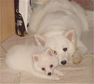 A white German Spitz puppy is laying next to an adult white German Spitz on top of a white throw rug that is on a white tiled floor inside of a house.