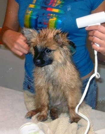 A wet tan with black German Spitz puppy is sitting on a bunch of towels being dryed off by a lady with a hair dryer.
