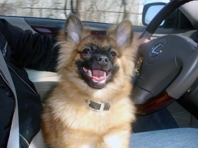 A tan with black German Spitz puppy is laying in the lap of a person driving a Lexus vehicle. its mouth is open and tongue is out. It looks like it is smiling