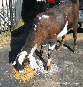 A brown, black and white Nubian goat is eating corn flakes cereal off of the driveway and there is a vehicle behind it.