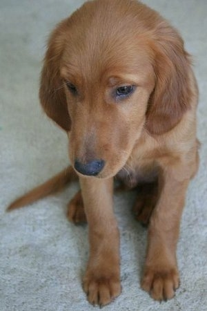 Golden Irish Dog Breed Information And Picturess