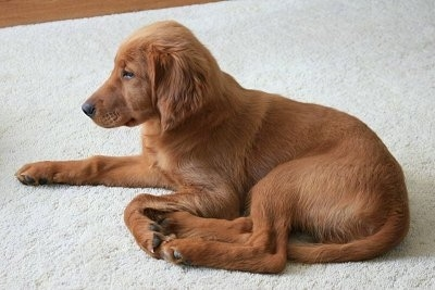 English Setter Golden Retriever Mix http://www.dogbreedinfo.com/g/goldenirish.htm