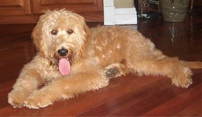 A tan Goldendoodle is laying on a hardwood floor. Its mouth is open and tongue is out