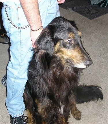 A black and tan Gollie is standing on a tan carpet next to a person in jeans. It is looking to the right.