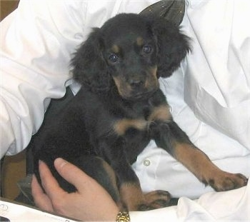 A black and tan Gordon Setter puppy is sitting in the lap of a person in a white shirt