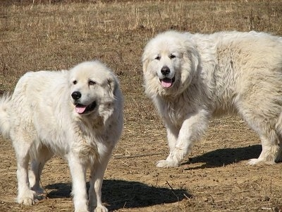 Two white Great Pyrenees are standing across brown grass. Both of them are panting.