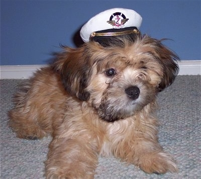 A tan with brown and black Griffichon puppy is wearing a white sailors hat while laying on a tan carpet in front of a blue wall.