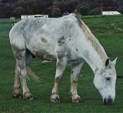 A Dapple Gray Percheron Draft Horse is standing in a field eating grass.