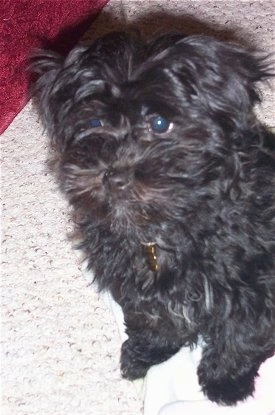 Molly, the F1b Hava-Apso hybrid puppy at 3 months old