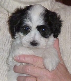 Close Up - A black and white Havaton puppy is being held against the chest of a person in a white sweater