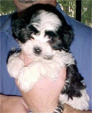 A black and white Havaton puppy is being held in the hand of a person who is wearing a blue shirt in front of a window in a home.