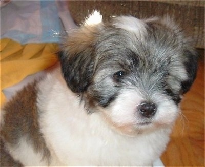 Close Up - A black, gray and white Havaton puppy is sitting on a hardwood floor.