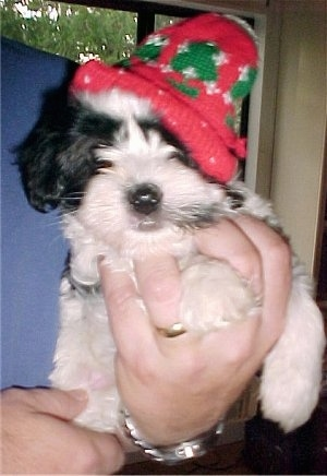 A black and white Havaton puppy is wearing a red and green Christmas hat and it is in the hand of a person