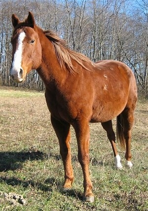 Jack, the Mexican Quarter Horse, imported to the USA