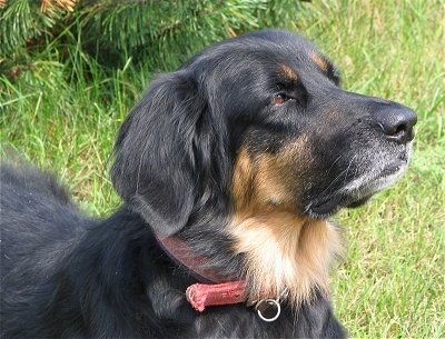 Close up side view head shot - A black with tan Hovawart is wearing a red collar standing in grass looking to the right.