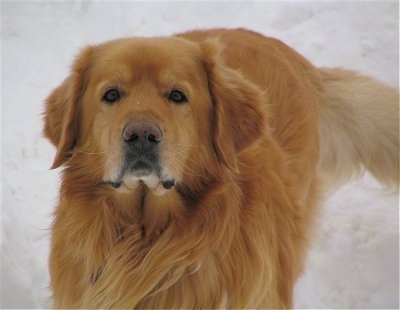 Close Up - A golden orange colored Hovawart dog is standing in snow.