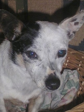 Clarince, the Mini-Foxi x Jack Russell hybrid at 7 years old