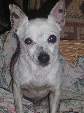 Sugar, the Mini-Foxi x Jack Russell hybrid at 10 years old