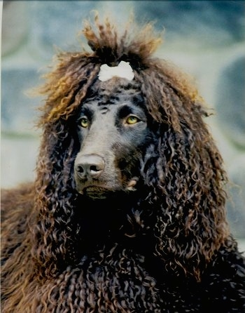 Close Up upper body shot - A brown Irish Water Spaniel is standing outside, it has a ribbon in its hair