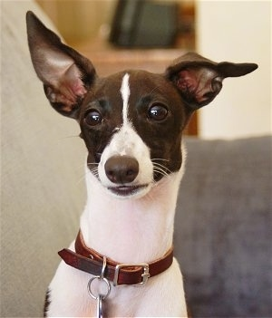 Upper body shot - A brown with white Italian Greyhound puppy is sitting on a couch looking forward