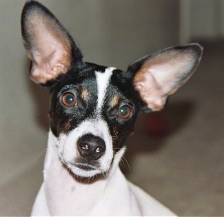 Close Up head shot - A white with black and tan Jack-Rat Terrier has its head tilted to the right