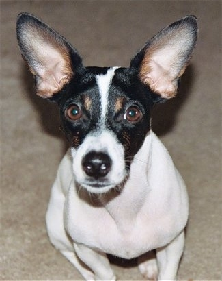 Close Up - A white with black and tan Jack-Rat Terrier is sitting on a carpet