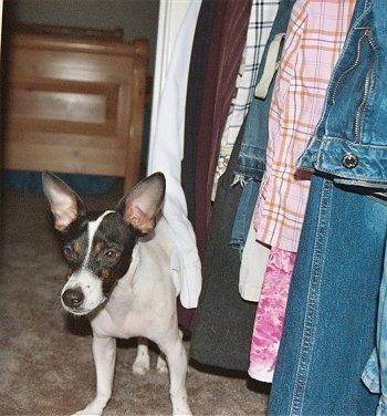 A white with black and tan Jack-Rat Terrier is standing next to hanging cloths in a closet.