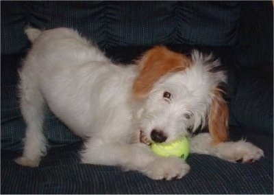 A white with tan Jackapoo is play bowing on a couch with a tennis ball in its mouth. The dog is all white with only the ears being tan.