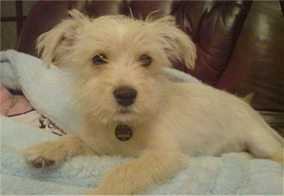 Stan, the Jackie-Bichon puppy at 15 week old (Jack Russell x Bichon Frise hybrid)