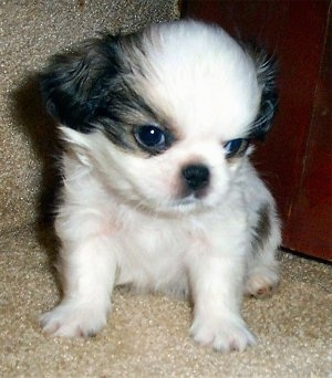 Japanese Chin Puppies on The Japeke  Japanese Chin   Pekingese Hybrid  Puppy At 6 Weeks Old