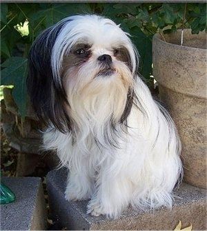 A long haired white with black Jatese is sitting on a stone in front of a potted plant.