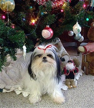 A white with black Jatese is wearing a red ribbon and laying under a decorated Christmas tree
