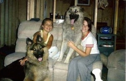 Two girls are sitting on a couch. There is a black and grey King Shepherd sitting on a couch next to one girl. There is a black and tan King Shepherd sitting on the floor in front of the other girl
