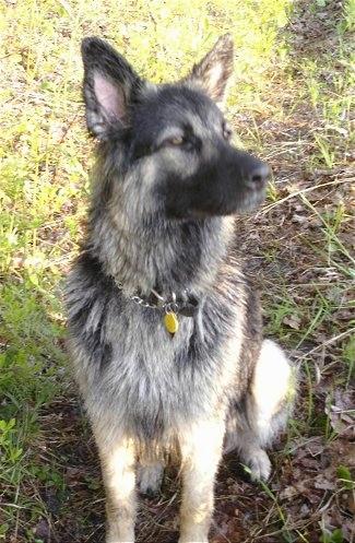 King Shepherd Dog Black Black King Shepherd Puppies