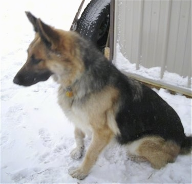 A King Shepherd is sitting outside in snow next to a tin building that has a tire leaning against it.