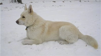 Side view - A white King Shepherd is laying in snow with snow on its face.