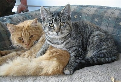 Sandy (left) the full grown cat with Miny the Kitten