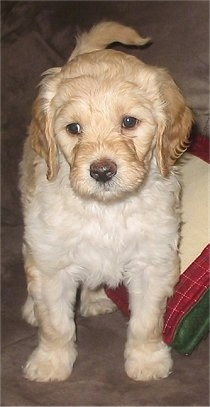 Bell, the Labradoodle puppy at 6 weeks old