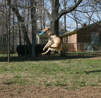 Vedder the Yellow Lab a few feet off of the ground catching a Frisbee in the air