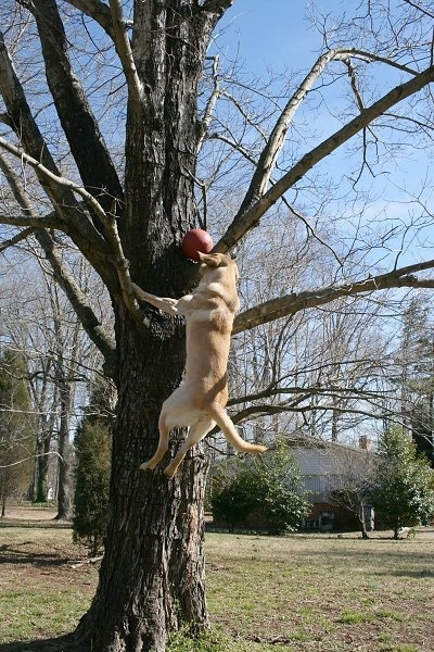 Vedder the Yellow Lab several feet off of the ground climbing a tree to get a red ball