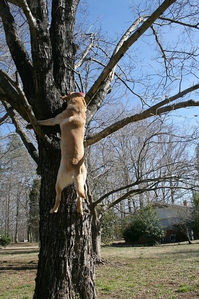 Vedder the Yellow Lab several feet off of the ground climbing up a tree to grab a red ball
