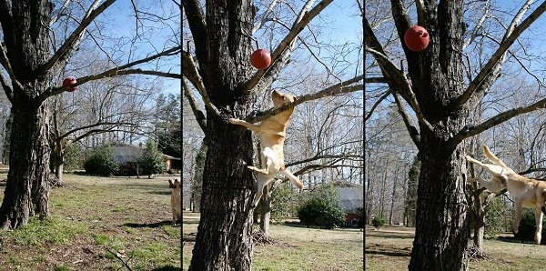 Left - Vedder the Yellow Lab is sitting outside and looking at a red ball stuck in a tree. Middle Photo - Vedder climbing the tree and knocking the red ball out of the tree. Right Photo - Vedder coming down the tree and the red ball is flying to the left