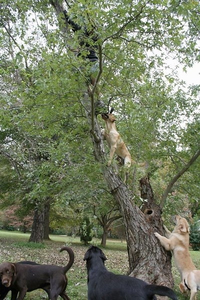 Vedder the Yellow Labfollowing his master up a tree. Four other dogs are at the base of a tree